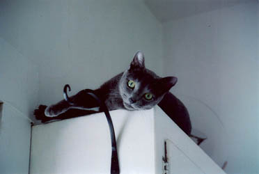 Fred Russian Blue Cat
