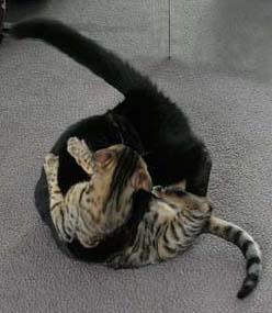 cat behavior redirected aggression