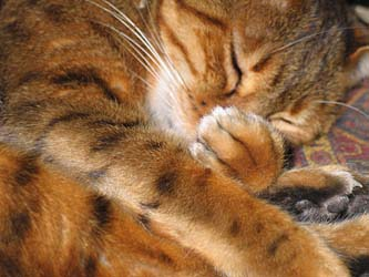 Obituary for Maulee a Bengal Cat