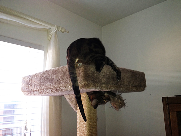 Tips for adding vertical territory. My cat playing in his cat tree