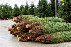 Preparing Christmas trees for market by Fotolia.